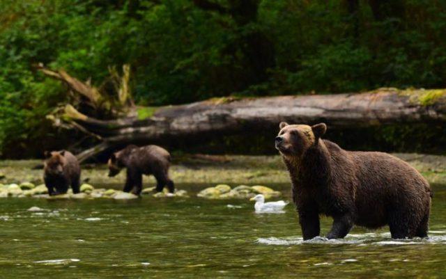 bears in the Great Bear Rainforest